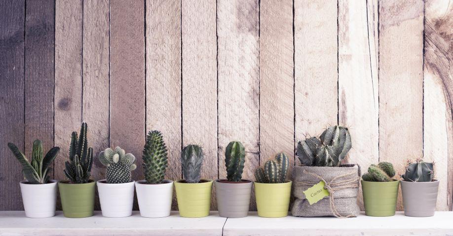 westwing-kaktusy